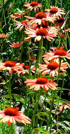 Echinacea-DSCF6687-cr