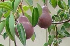 Pears-DSCF2227-cr